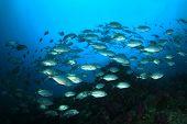 stock photo of bigeye  - Bigeye Jack fish shoal - JPG