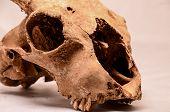 picture of goat horns  - Dry Goat Skull with Big Horns on White Background - JPG