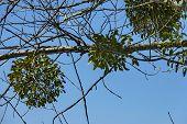 stock photo of mistletoe  - White Mistletoe  - JPG