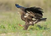 stock photo of greater  - Greater Spotted Eagle jumping on the ground - JPG
