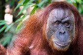 foto of orangutan  - Face and shoulders of an adult Sumatran orangutan - JPG