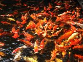 foto of fish pond  - Looking down into a pond of Colorful koi fish swimming at the surface - JPG