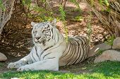 stock photo of white-tiger  - The white Tiger is a pigmentation variant of the Bengal tiger Panthera tigris the largest feline species - JPG