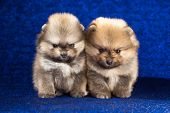 stock photo of pomeranian  - Portrait of a two Pomeranian puppies age of 15 month over blue background