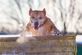 stock photo of american staffordshire terrier  - Dog breed American Pit Bull Terrier jumps over an obstacle - JPG