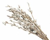 picture of willow  - willow twigs with catkins isolated on white background - JPG