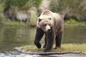Brown bear on walking on riverbank