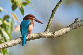 picture of sun perch  - white throated kingfisher perched on a branch - JPG