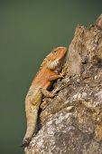 pic of mutilated  - Calotes versicolor - JPG