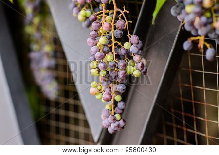 Bunch Of Red Grapes On The Vine With Green Leaves Background