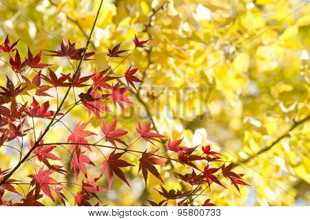 Maple and ginkgo branches