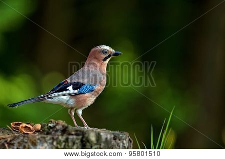Jay in the forest