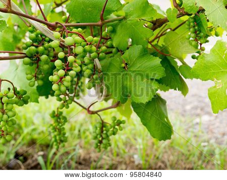 Green Wild Grapes