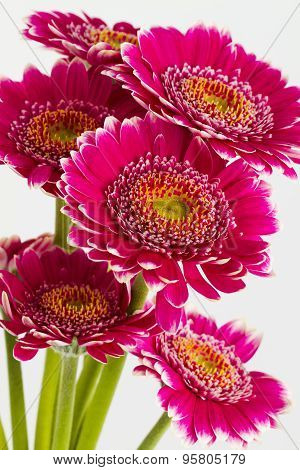 Pink Gerbera Flowers Islolated On White Background
