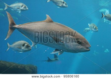 Tuna fish swims underwater