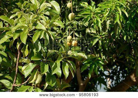 Green Mango on Mango Tree