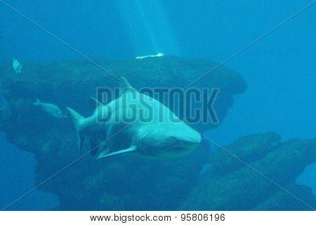 Shark underwater swimming
