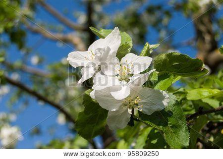 Again an apple blossom