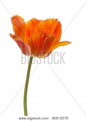 Bright Red Tulip With Fringed Edges