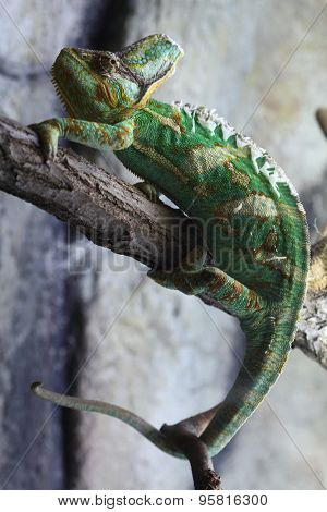 Veiled chameleon (Chamaeleo calyptratus), also known as the Yemen chameleon. Wildlife animal.