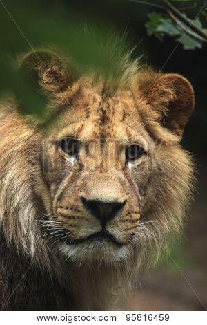 Barbary lion (Panthera leo leo), also known as the Atlas lion. Wildlife animal.