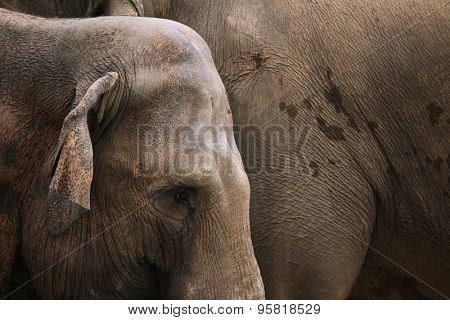 Indian elephants (Elephas maximus indicus). Wildlife animal.