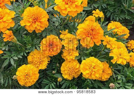 Orange Marigolds On The Flowerbed. Gardens And Flowers