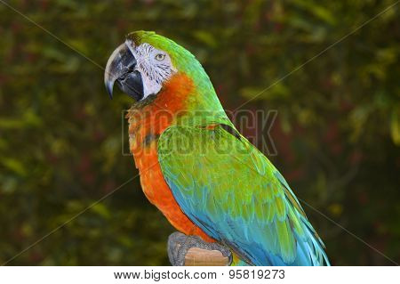 Green and orange macaw in Florida