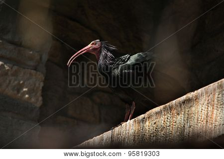 Northern bald ibis (Geronticus eremita), also known as the hermit ibis. Wild life animal.
