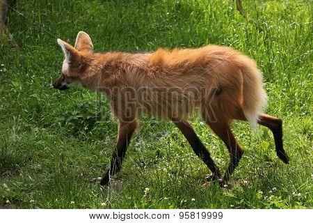 Maned wolf (Chrysocyon brachyurus). Wildlife animal.