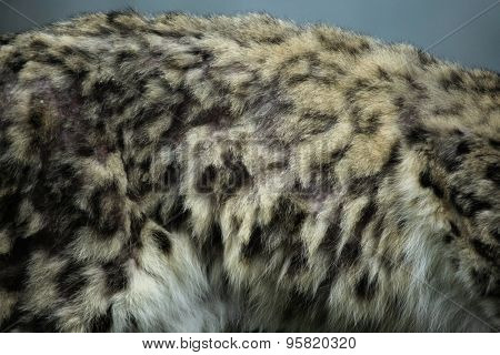 Snow leopard (Panthera uncia) fur texture. Wildlife animal.
