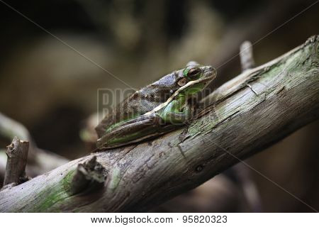 American green tree frog (Hyla cinerea). Wildlife animal.