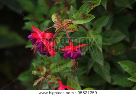 Red And Purple Fuchsia