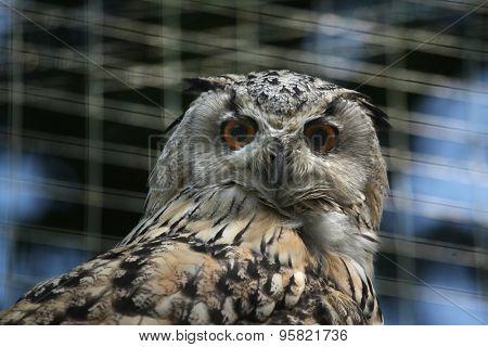 Western Siberian eagle owl (Bubo bubo sibiricus). Wildlife animal.