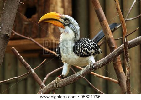 Eastern yellow-billed hornbill (Tockus flavirostris), also known as the northern yellow-billed hornbill. Wildlife animal.