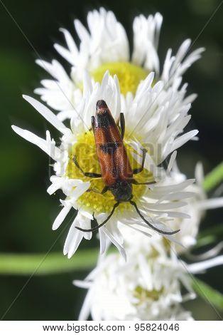 Bug On Camomile