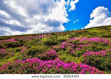 Rhododendron meadow
