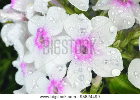 Phlox  With Big Waterdrops