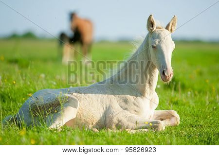 Little Perlino Akhal-teke Foal Laying On A Pasture