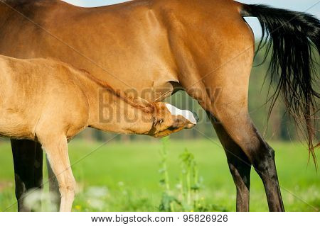 Foal And Mare On A Pasture Closeup Going To Eat