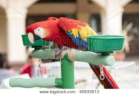 Scarlet Macaw Perched At A Local Plaza
