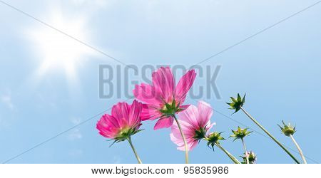Pink Cosmos Flowers Over Blue Sky
