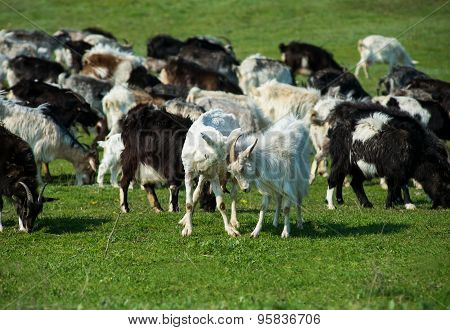 Adult and young goats fighting with their heads at an animal farm