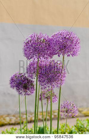 Giant Onion Flowers (allium Giganteum) Against Wall