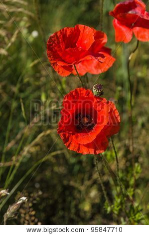 Red Poppy Flowers (papaver Rhoeas) On The Green Field In The Sunlight