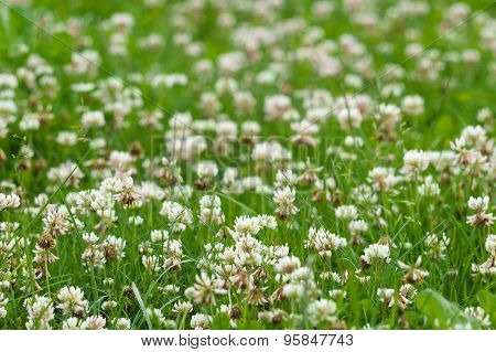 White Clover (trefoil) Flowers Field, Narrow Depth