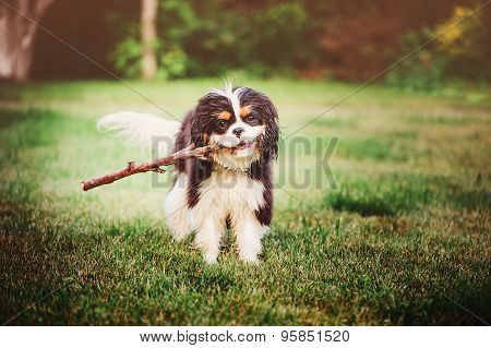 young fluffy cavalier king charles spaniel playing with stick in summer garden