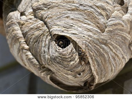 Close up view of wasps outside it´s huge nest.