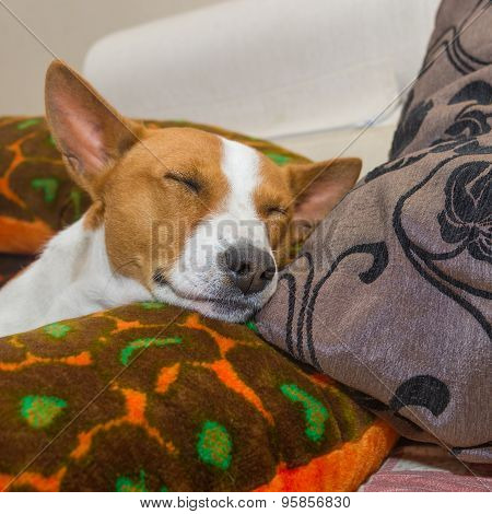 Basenji dog sleeping in the cushions