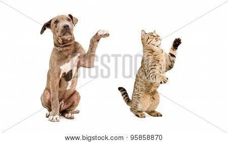 Playful puppy pit bull and a cat Scottish Straight